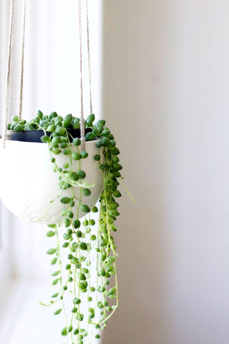 String of pearls plant.jpg
